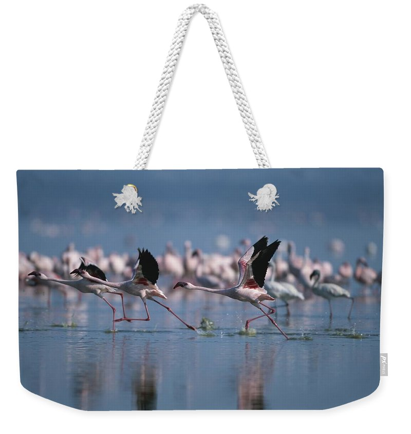 Africa Weekender Tote Bag featuring the photograph Greater Flamingos Run Through Shallow by Roy Toft