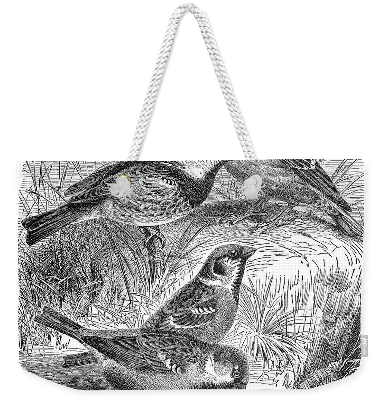 19th Century Weekender Tote Bag featuring the photograph Group Of Sparrows by Granger