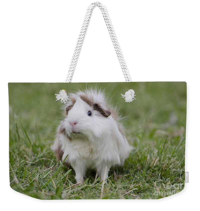 Guinea Pig Weekender Tote Bag featuring the photograph Have You Seen My Hairspray? by Jim And Emily Bush
