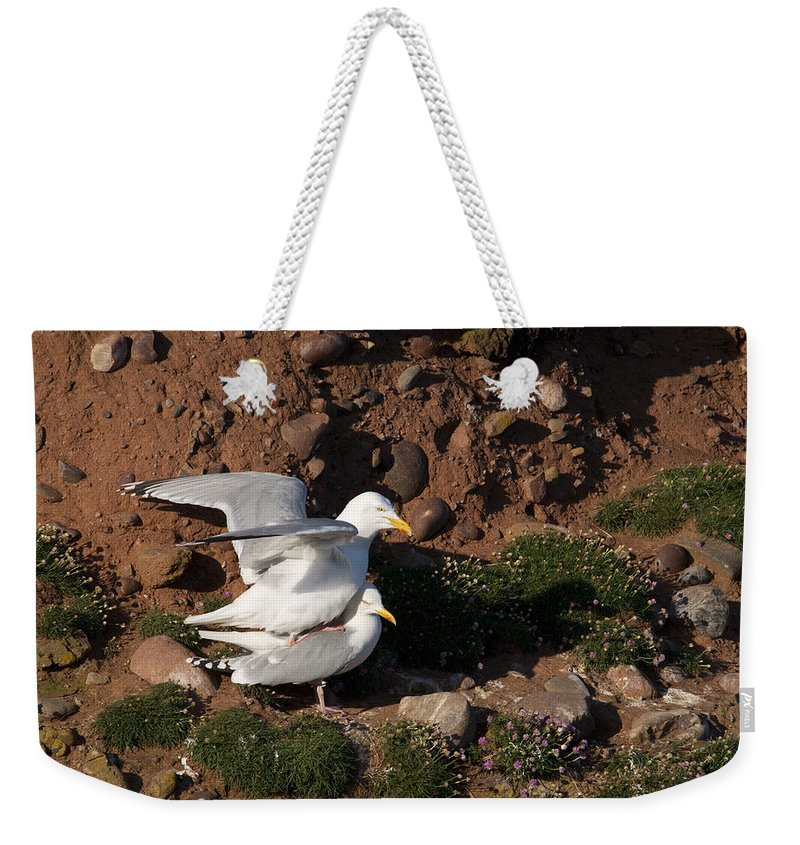 Herring Gull Weekender Tote Bag featuring the photograph Herring Gulls Mating by Howard Kennedy