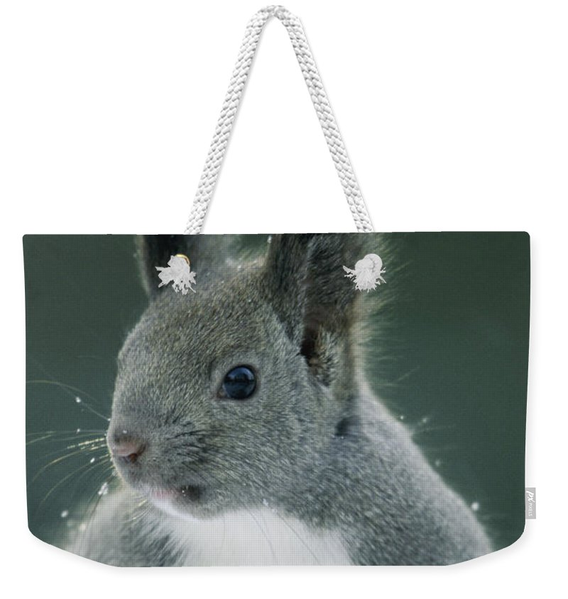 Sciurus Vulgaris Orientis Weekender Tote Bag featuring the photograph Large Tufted Ears Grace An by Tim Laman