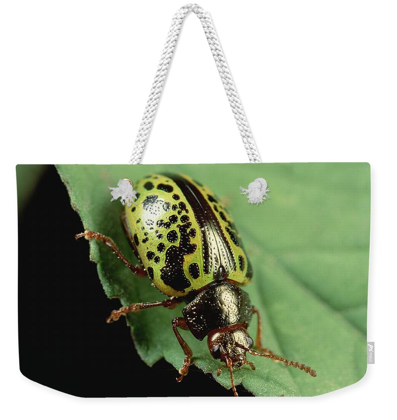 Mp Weekender Tote Bag featuring the photograph Leaf Beetle Calligrapha Sp Portrait by Mark Moffett