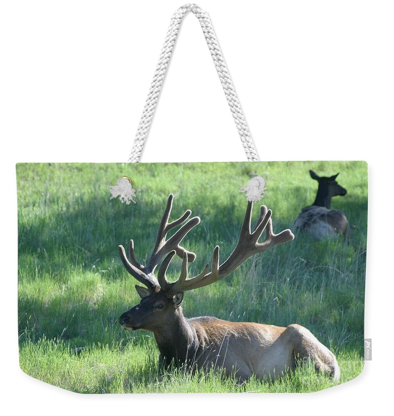 Elk Weekender Tote Bag featuring the photograph Lounging Elk by Living Color Photography Lorraine Lynch
