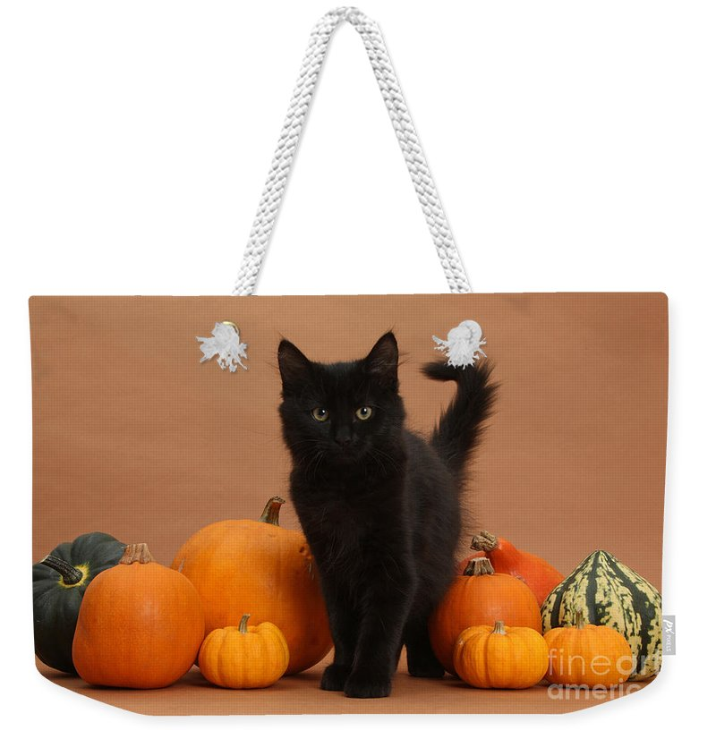 Animal Weekender Tote Bag featuring the photograph Maine Coon Kitten And Pumpkins by Mark Taylor