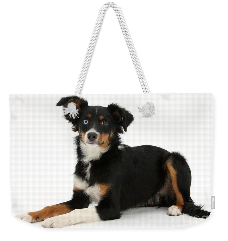 Nature Weekender Tote Bag featuring the photograph Mini American Shepherd by Mark Taylor