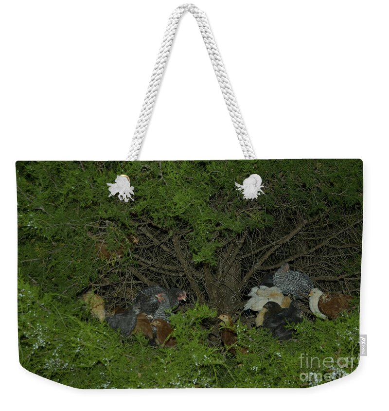 Chicken Weekender Tote Bag featuring the photograph That Poor Cedar Tree by Donna Brown