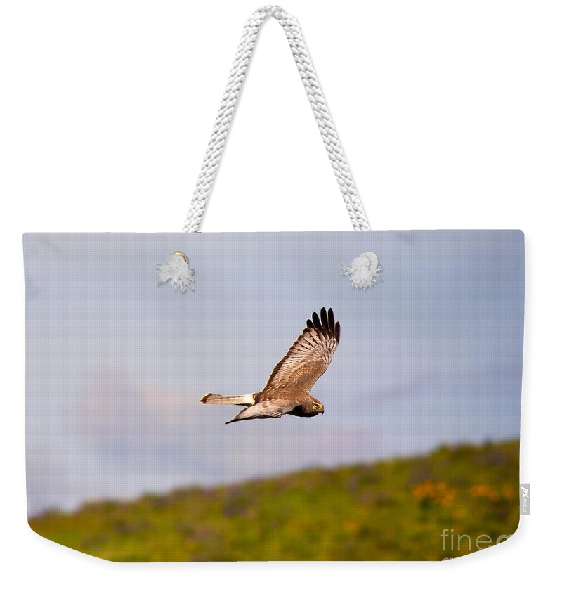 Northern Harrier Weekender Tote Bag featuring the photograph Northern Harrier Flight by Mike Dawson