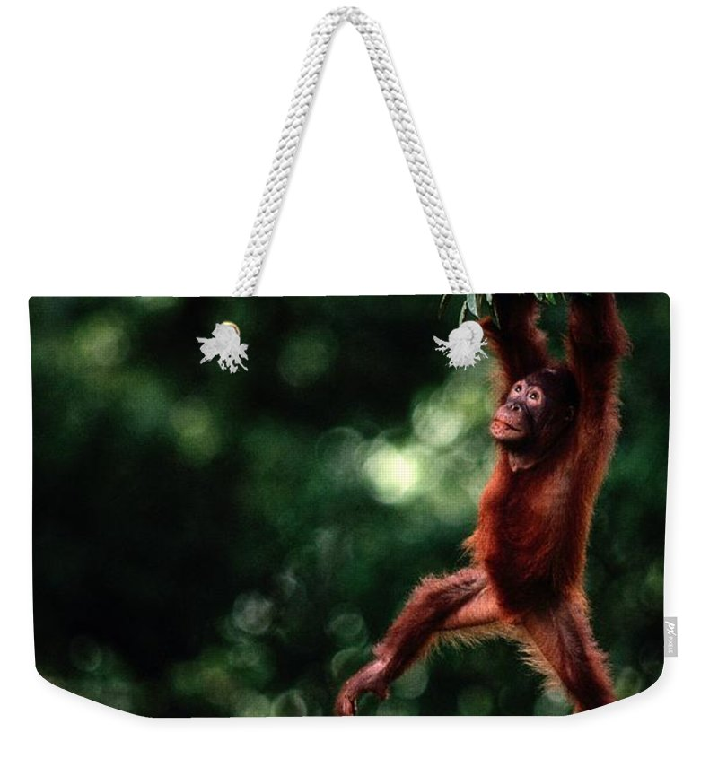Danum Valley Weekender Tote Bag featuring the photograph Orangutan Pongo Pygmaeus by Mattias Klum