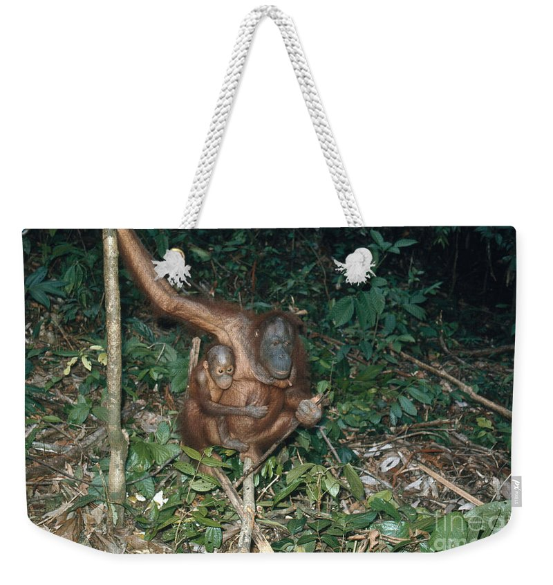 Orangutan Weekender Tote Bag featuring the photograph Orangutan With Baby by Edward Drews