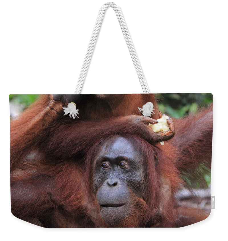 Nature Weekender Tote Bag featuring the photograph Orangutans by Mark Taylor
