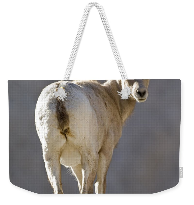 Borrego Palm Canyon Weekender Tote Bag featuring the photograph Peninsular Bighorn Sheep Ovis by Rich Reid