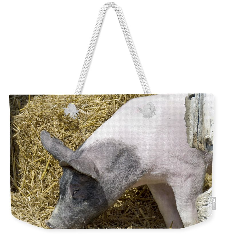 Usa Weekender Tote Bag featuring the photograph Piggy Piggy In The Straw by LeeAnn McLaneGoetz McLaneGoetzStudioLLCcom