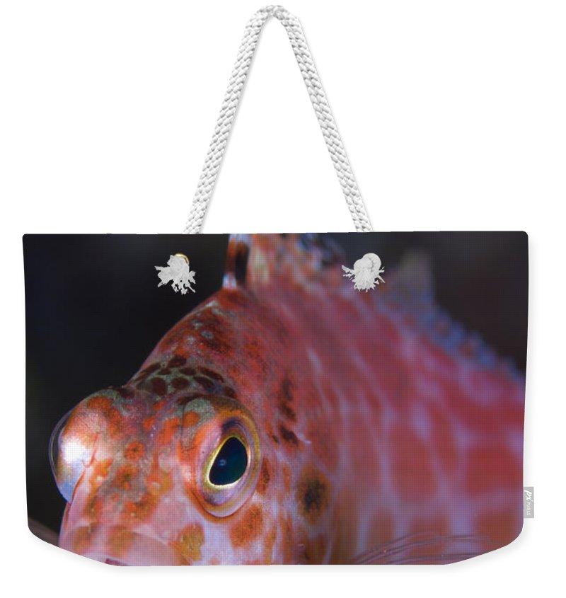 Kimbe Bay Weekender Tote Bag featuring the photograph Pixy Hawkfish, Kimbe Bay, Papua New by Steve Jones
