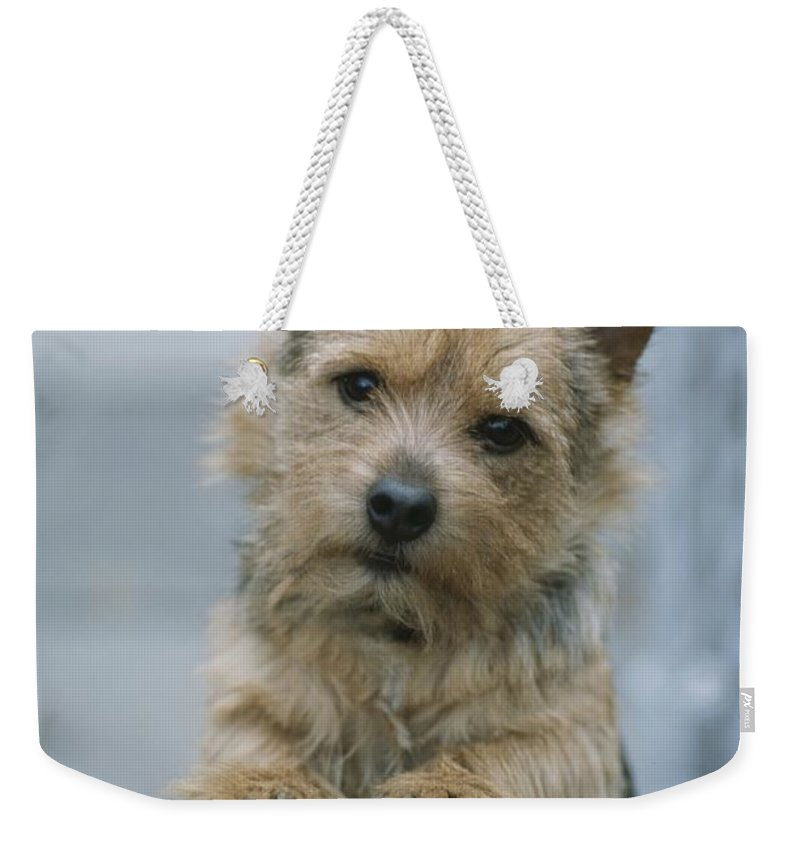 Animals Weekender Tote Bag featuring the photograph Portrait Of A Norwich Terrier by Robin Siegel