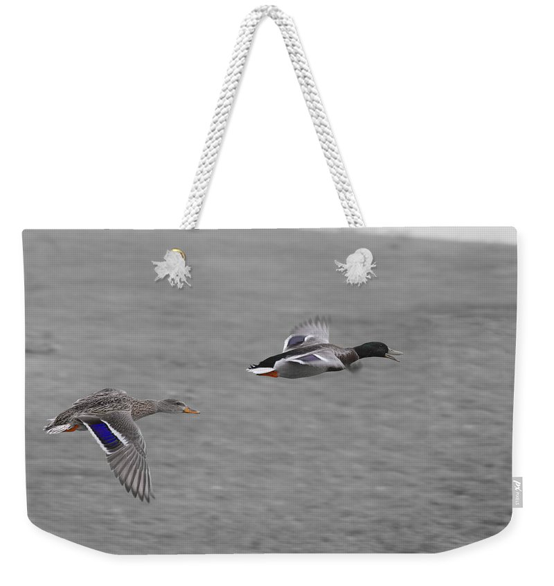 Ducks In Flight Weekender Tote Bag featuring the photograph Race To The Water by Douglas Barnard
