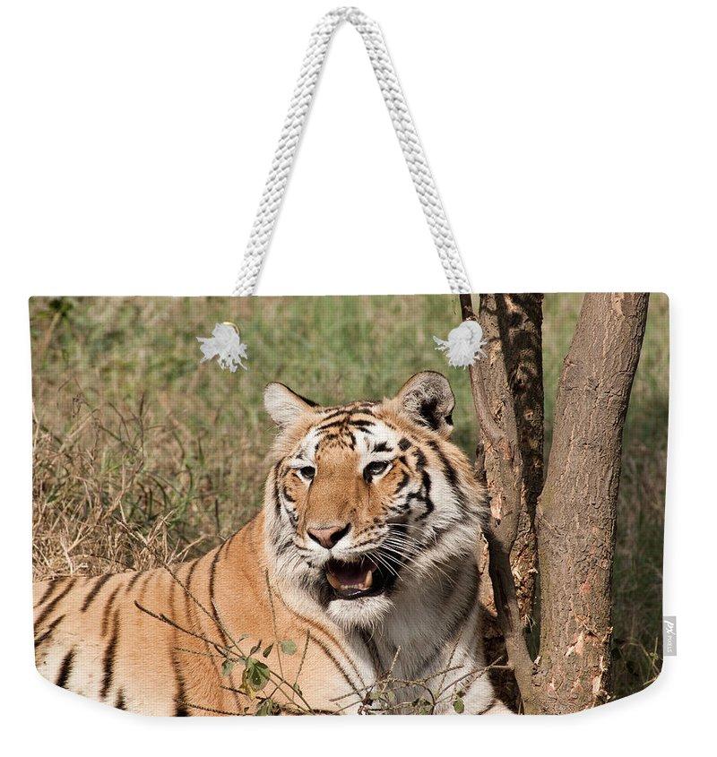 Tiger Weekender Tote Bag featuring the photograph Royal Bengal Tiger Inside The Delhi Zoo by Ashish Agarwal