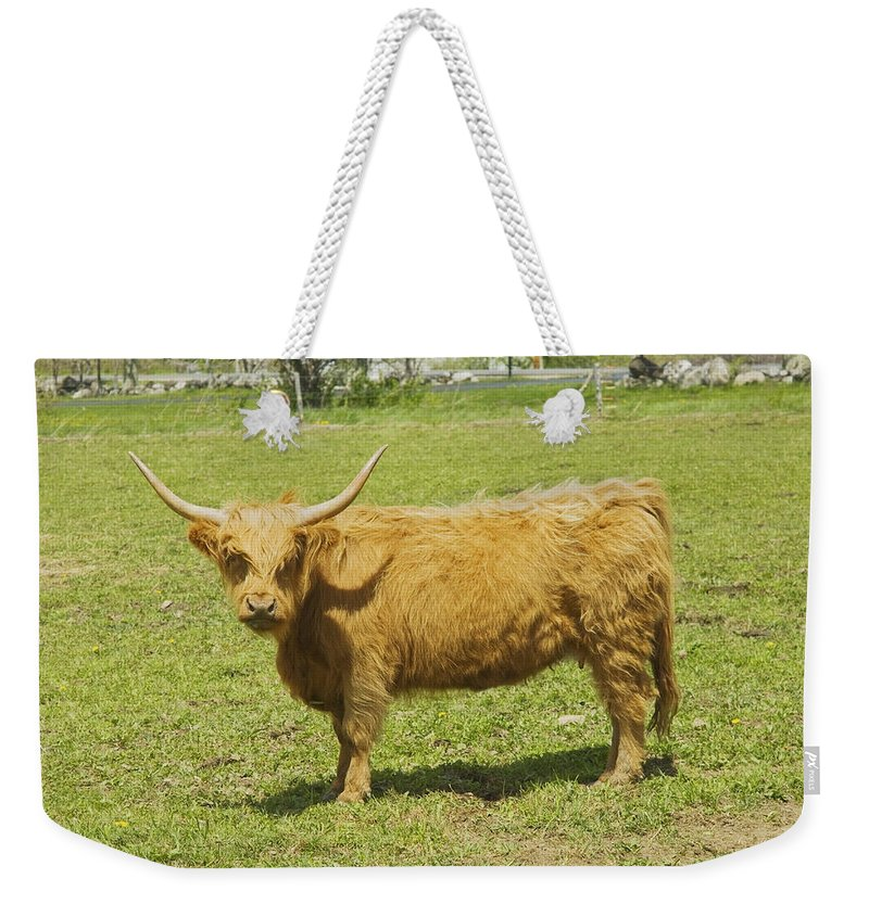 Cow Weekender Tote Bag featuring the photograph Scottish Highland Cow In Farm Field Maine by Keith Webber Jr