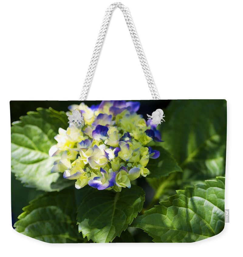 Hortensia Weekender Tote Bag featuring the photograph Shadowy Purple And White Emerging Hydrangea by Kathy Clark