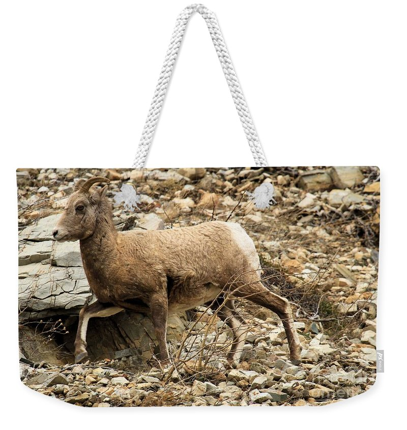 Big Horn Sheep Weekender Tote Bag featuring the photograph The Morning Run by Adam Jewell