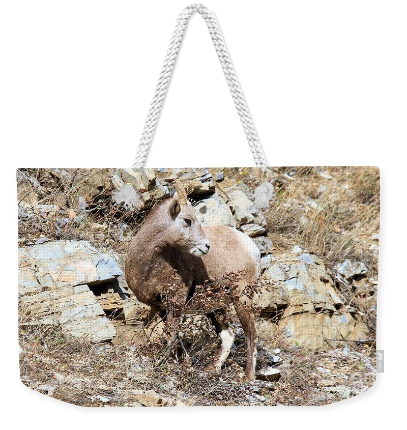 Big Horn Sheep Weekender Tote Bag featuring the photograph The Twist by Adam Jewell