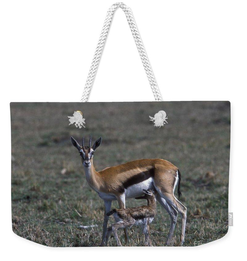 Sandra Bronstein Weekender Tote Bag featuring the photograph Thomson Gazelle And Newborn Calf by Sandra Bronstein