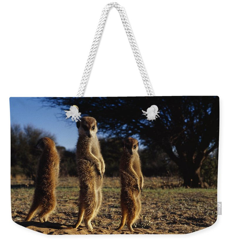 Africa Weekender Tote Bag featuring the photograph Three Meerkats With Paws Poised Neatly by Mattias Klum