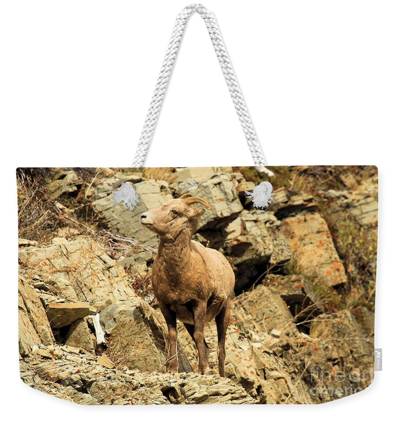 Big Horn Sheep Weekender Tote Bag featuring the photograph Up Where? by Adam Jewell