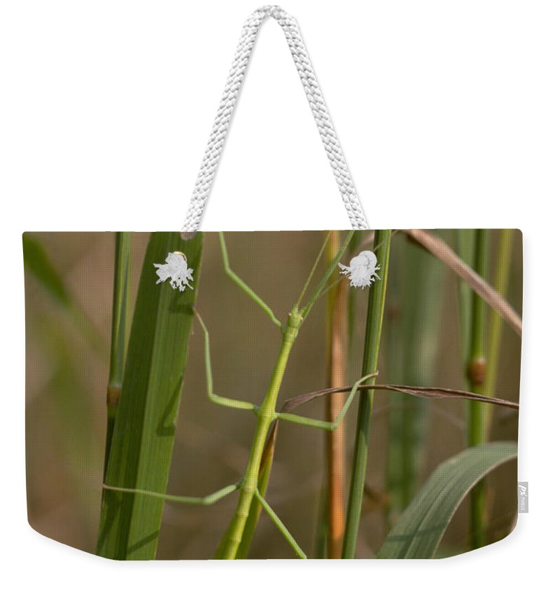 Animal Weekender Tote Bag featuring the photograph Walking Stick Insect by Ted Kinsman