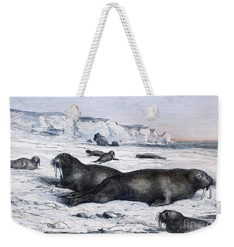 19th Century Weekender Tote Bag featuring the photograph Walruses On Ice Field by Granger