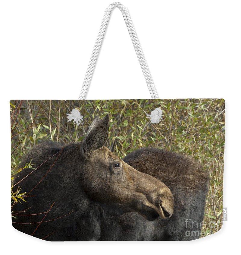Bronstein Weekender Tote Bag featuring the photograph Yearling Calf On Alert by Sandra Bronstein