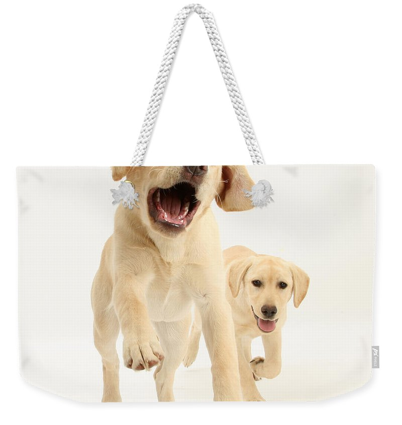 Nature Weekender Tote Bag featuring the photograph Yellow Labrador Pups Leaping And Running by Mark Taylor