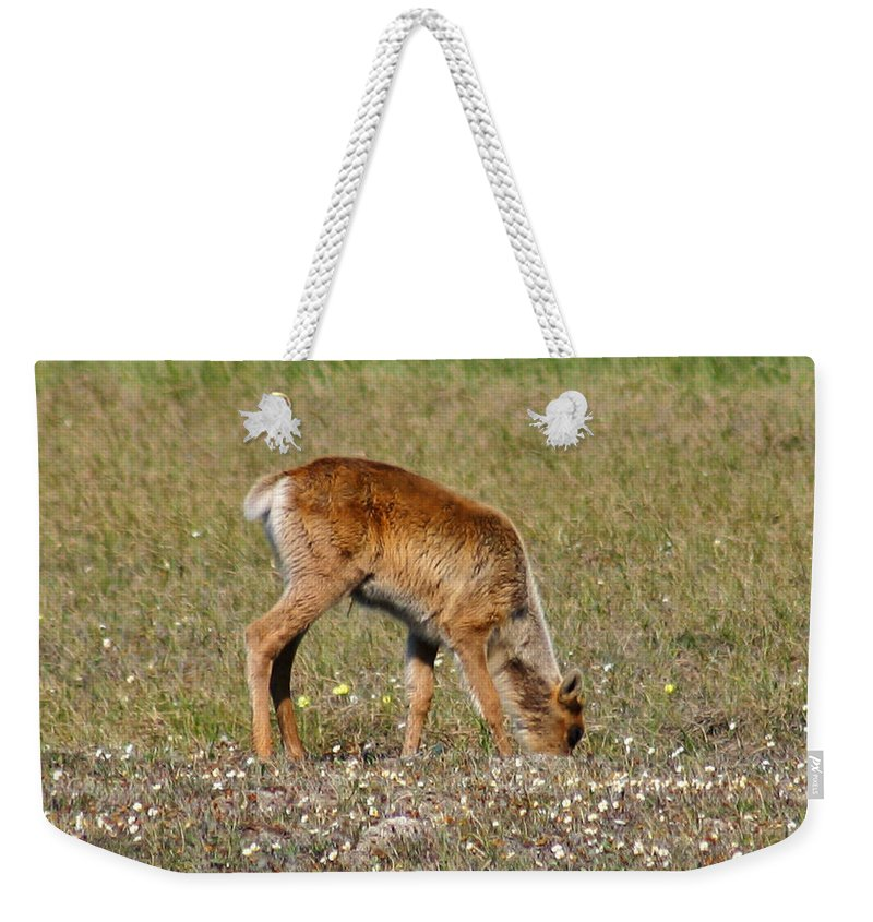 Deer Weekender Tote Bag featuring the photograph Caribou Fawn by Anthony Jones