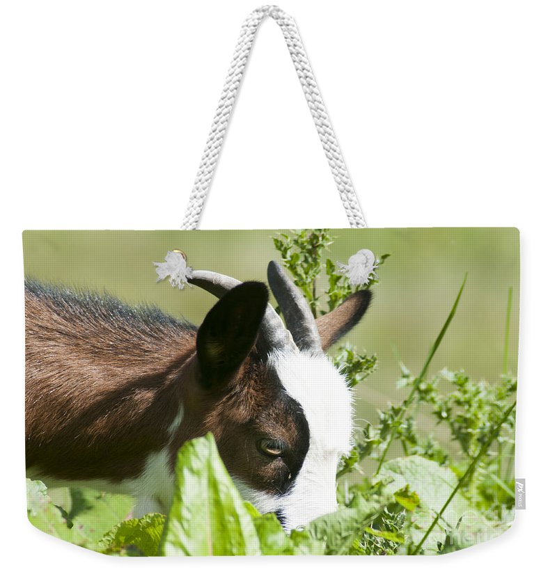 Domestic Weekender Tote Bag featuring the photograph Domestic Pygmy Goat by Ilan Rosen