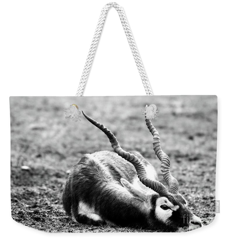 Black Buck Weekender Tote Bag featuring the mixed media Indian Antelope by Amitabh Dayal