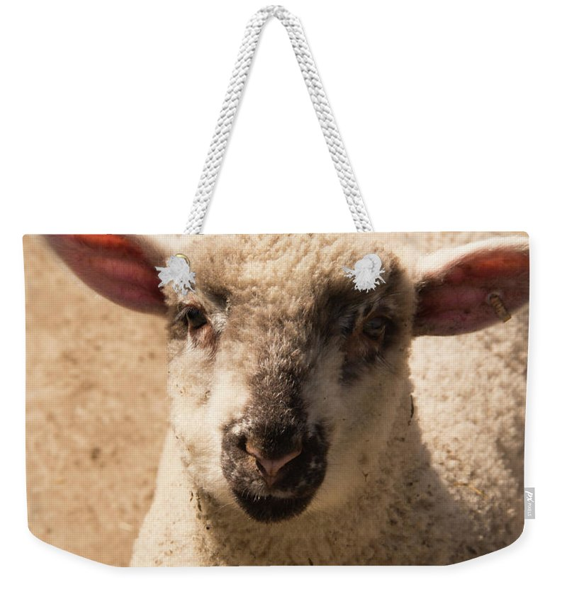 Sheep Weekender Tote Bag featuring the photograph Lamb Looking Cute. by Diane Schuler