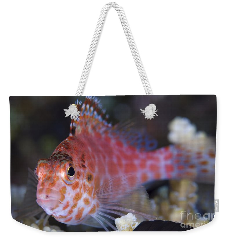 Osteichthyes Weekender Tote Bag featuring the photograph Pixy Hawkfish, Kimbe Bay, Papua New by Steve Jones