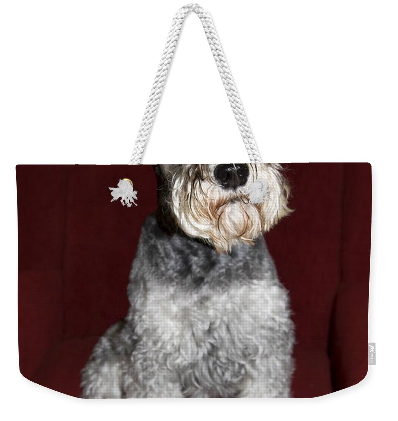 Schnauzer Dog Sitting On Red Wing Chair Weekender Tote Bag featuring the photograph Schnauzer Portrait by Sally Weigand