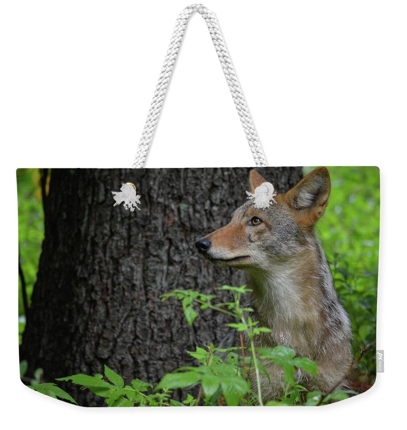 Wildlife Weekender Tote Bag featuring the photograph Early Morning Coyote In Maine by Jesse MacDonald