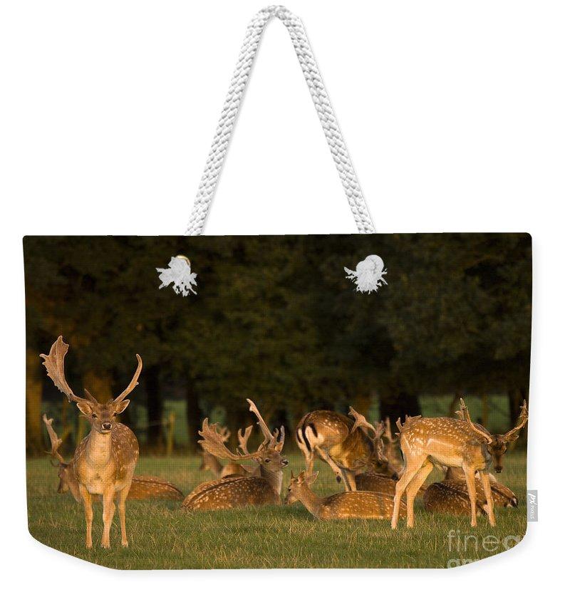 Fallow Deer Weekender Tote Bag featuring the photograph Fallow Deer by Angel Tarantella