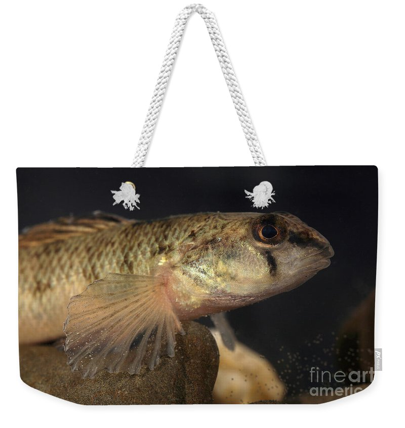 Animal Weekender Tote Bag featuring the photograph Mobile Logperch Percina Kathae by Ted Kinsman