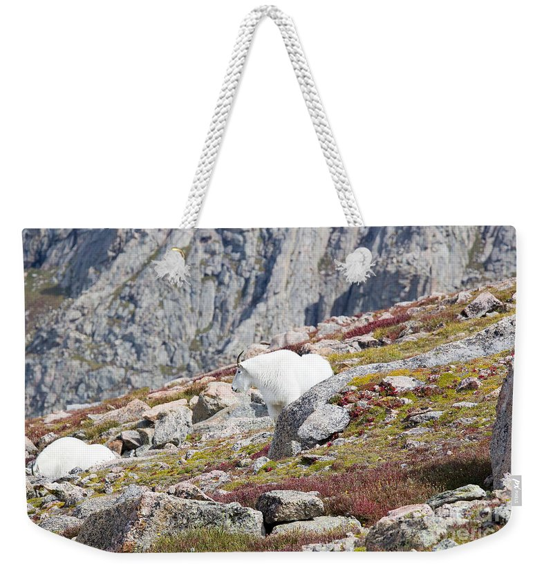 Goat Weekender Tote Bag featuring the photograph Mountain Goats On Mount Bierstadt In The Arapahoe National Fores by Steve Krull