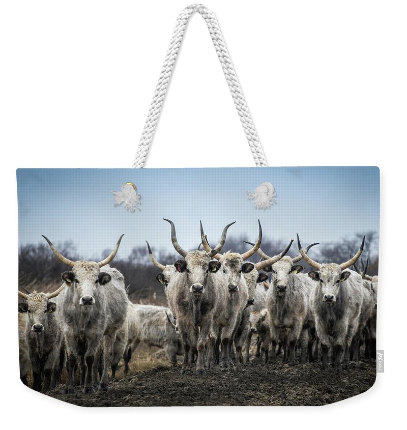 Animals Weekender Tote Bag featuring the photograph Grey Cattle Herd by Zoltan Schadel