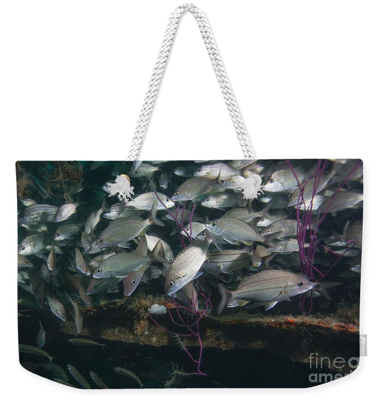 Fish Weekender Tote Bag featuring the photograph A Large School Of Tomtate by Michael Wood