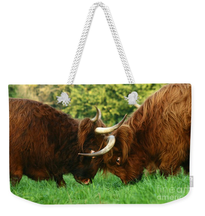 Cow Weekender Tote Bag featuring the photograph A Little Argue by Angel Ciesniarska