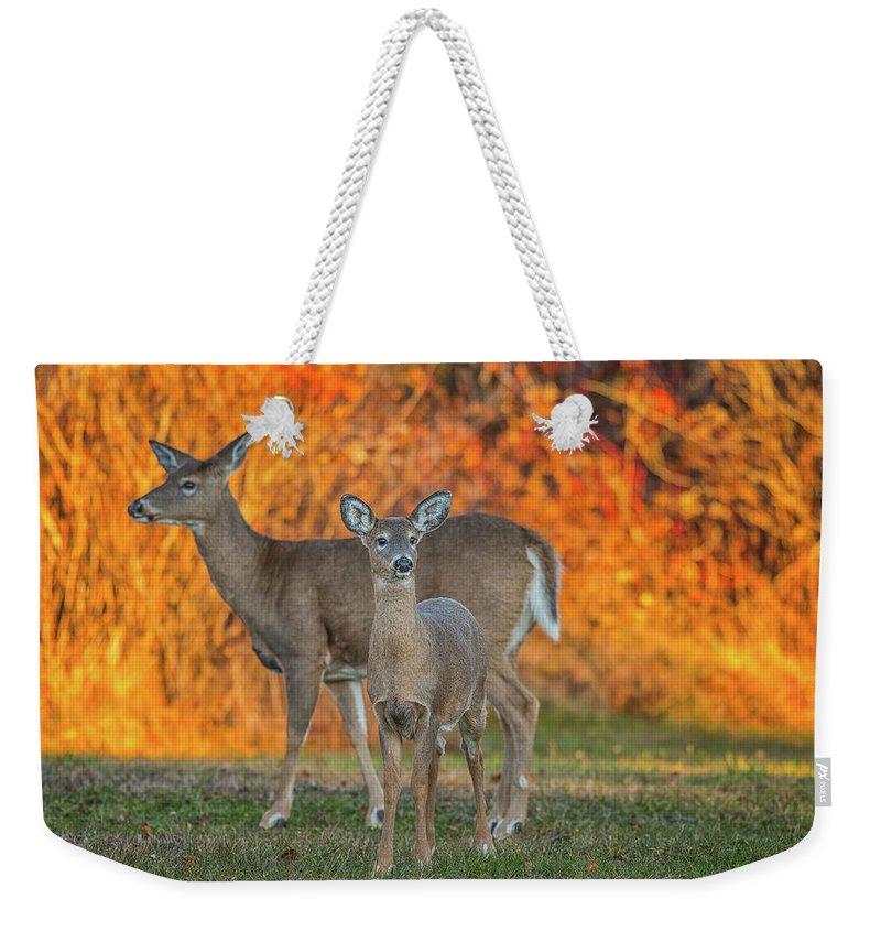 Deer Weekender Tote Bag featuring the photograph Acadia Deer by Darren White