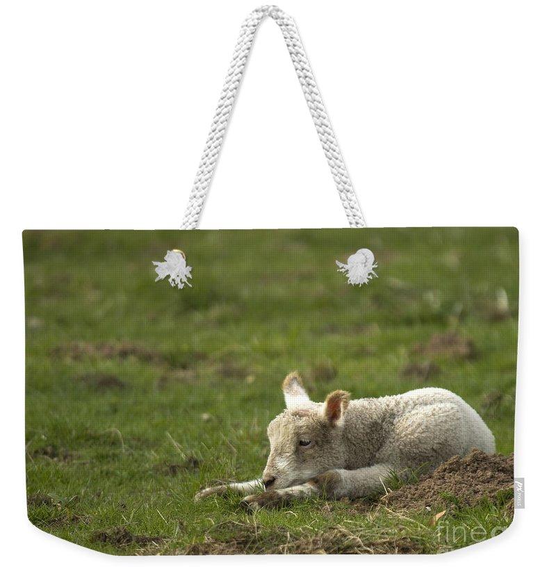 Lamb Weekender Tote Bag featuring the photograph Afternoon Nap by Angel Ciesniarska