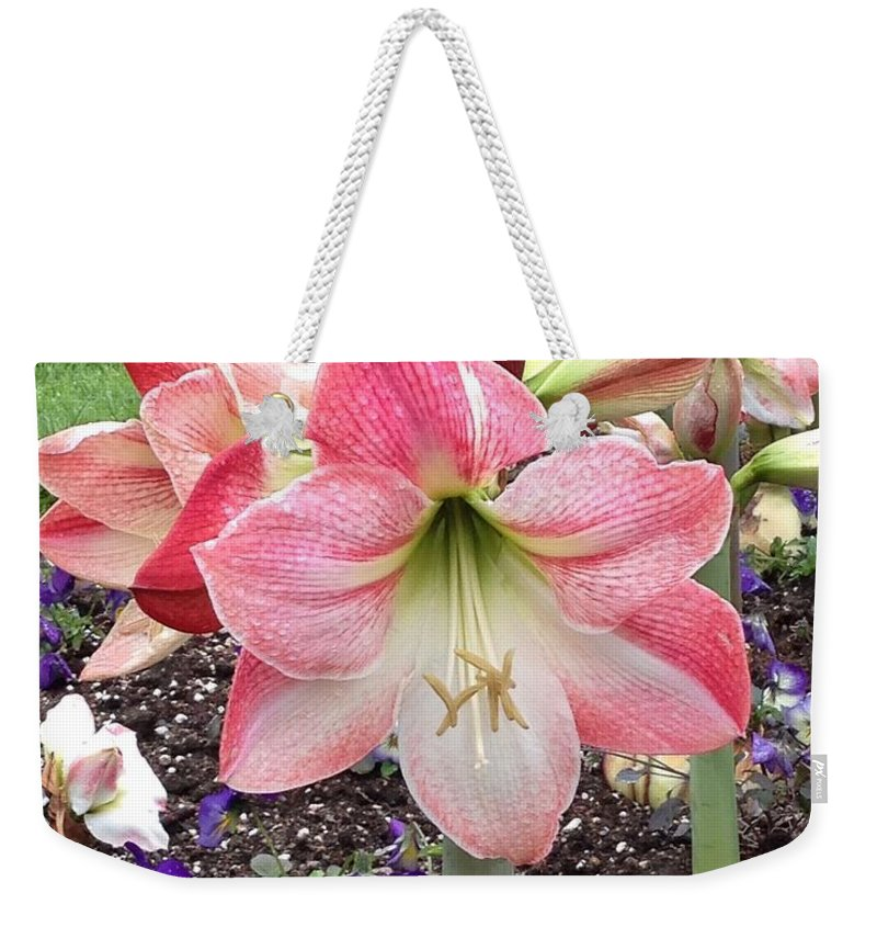 Amaryllis Weekender Tote Bag featuring the photograph Amazing Amaryllis - Pink And White Apple Blossom Hippeastrum Hybrid by Sylvie Marie