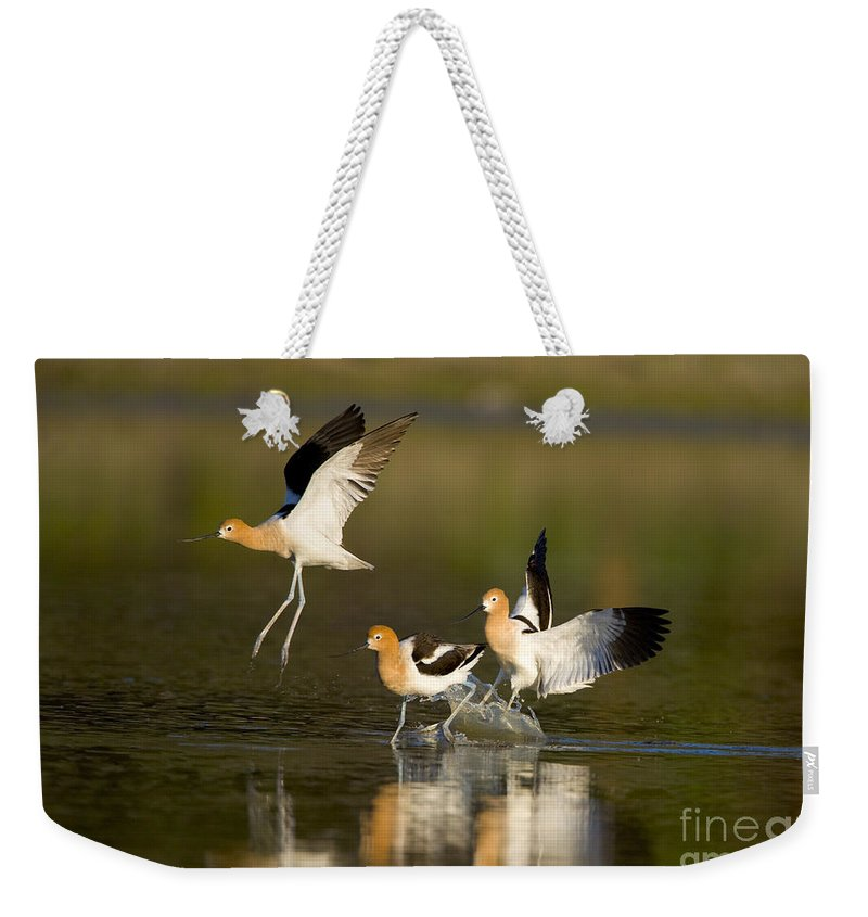 American Avocet Weekender Tote Bag featuring the photograph American Avocets by Marie Read