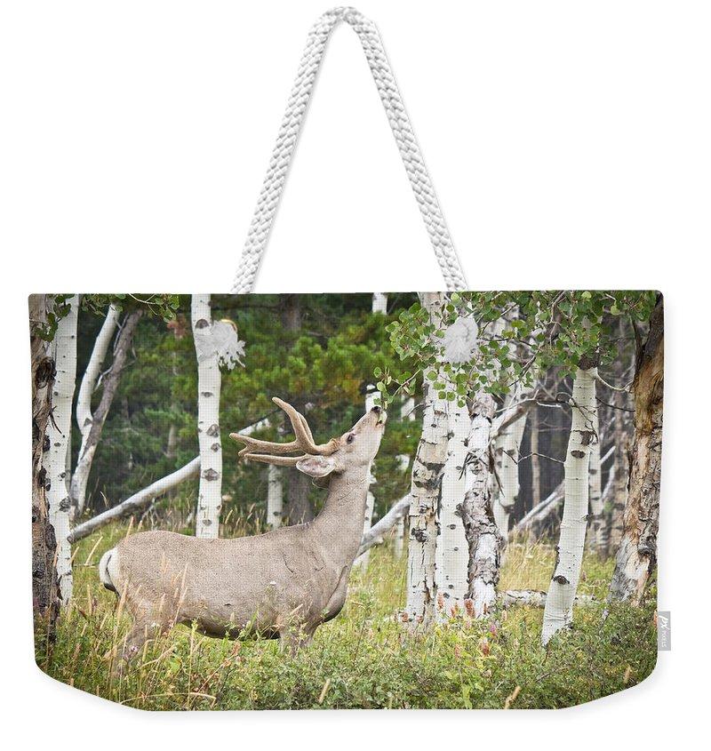Mule Deer Weekender Tote Bag featuring the photograph Aspen Nibbler by Diane Mintle
