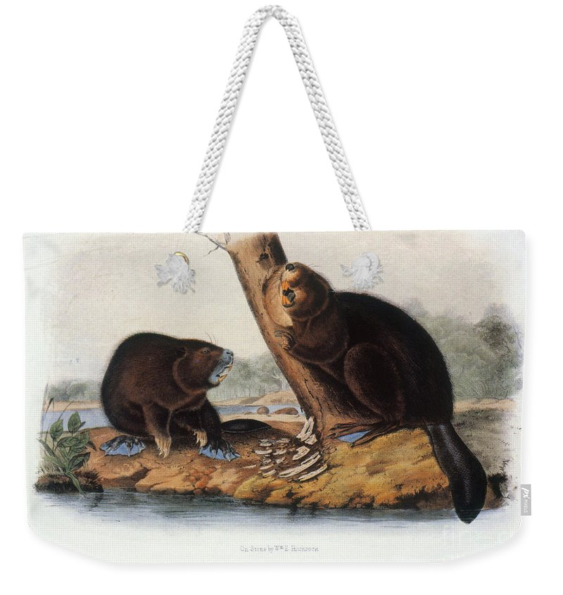 1846 Weekender Tote Bag featuring the photograph Audubon: Beaver, 1846 by Granger